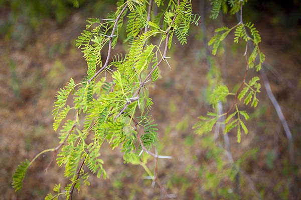 close up of prickly acacia